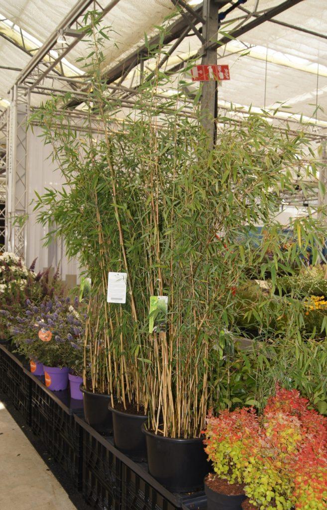 Fargesia Hybride 'Obelisk' PBR als Neuheit auf der Messe Plantarium im August 2015 neu vorgestellt