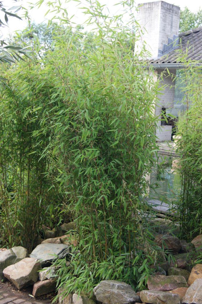 Fargesia 'Obelisk' (S) als aufrechte Einzelpflanze © Fotos bei Breederplants