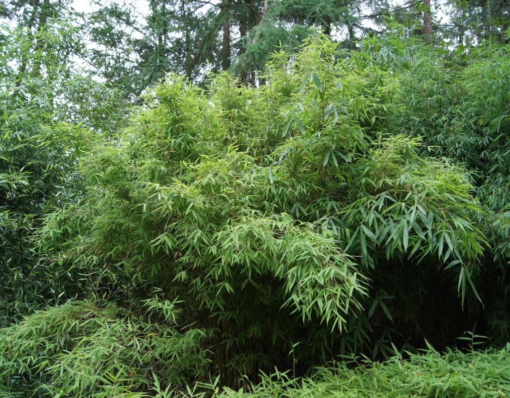 Fargesia murieliae (murielae) 'Green Snow Giant'