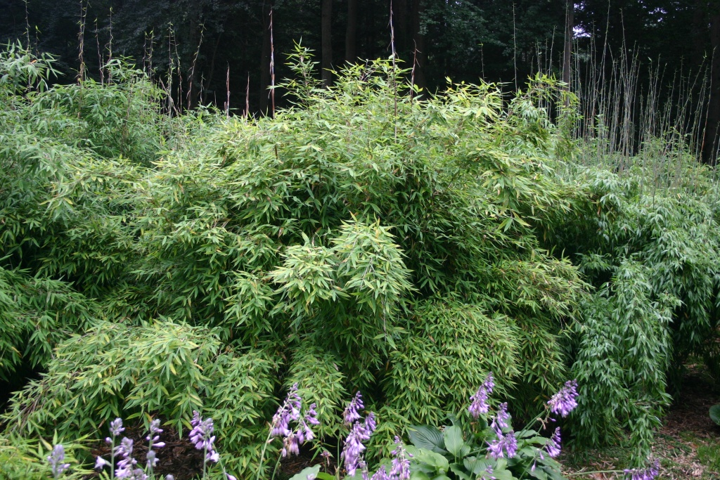 Fargesia murieliae (murielae) 'Harewood'