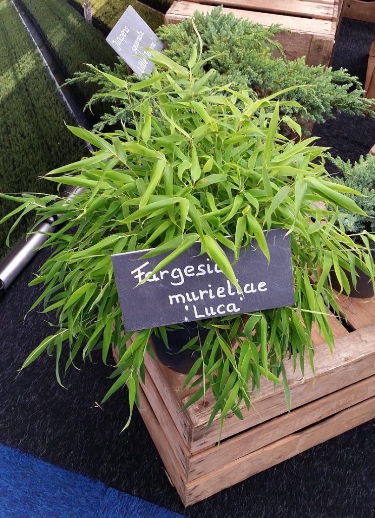 Fargesia murieliae 'Luca'