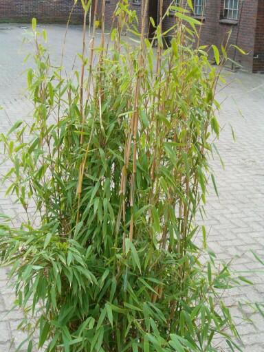 Fargesia murieliae (murielae) 'Monschein'