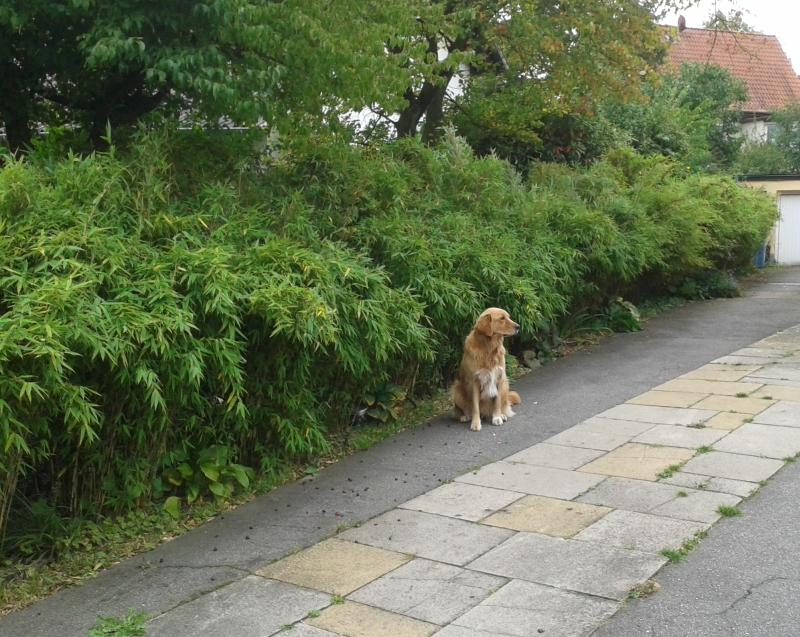 Fargesia murieliae 'Osako' (S) Bambushecke mit Hund