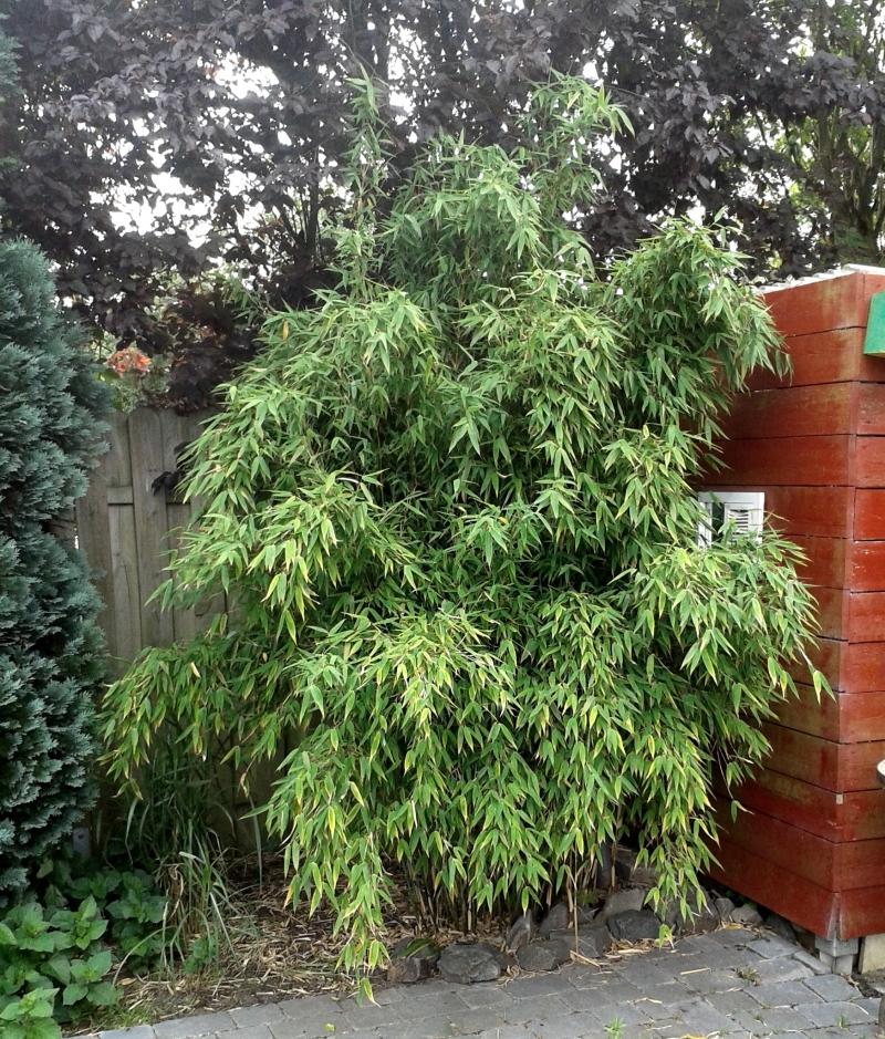 Fargesia murieliae 'Osako' an Holzhaus gepflanzt