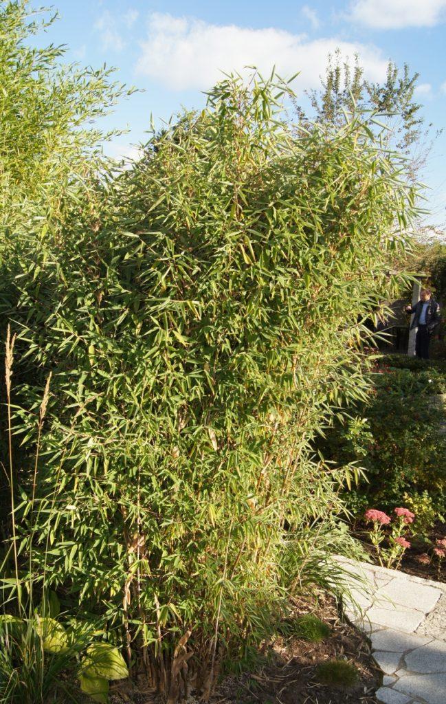 Fargesia spathacea 'Red Zebra'® ('Japo 51' EU-S)